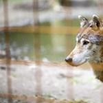 Breaking - kilőtték a szökött farkast