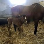 Fotó: Megszületett Overdose kiscsikója
