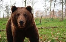 Medvepánik a nógrádi Bercelen