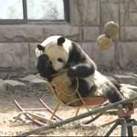 Videó: egy pandamaci hintaszékben ejtőzik