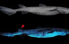 Világító cápákra bukkantak a tudósok Új-Zélandnál
