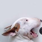 Lehet vicces egy pitbull? Döntse el - fotók