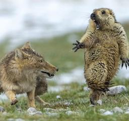 Megrémült mormota, patkánybanda és a párosodás művészete – Íme, az év természetfotói