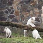A magyar állatkerti oroszlánoknak már nagyon hiányoznak a gyerekek