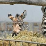 Debrecenben is elszabadultak a cirkuszi zebrák