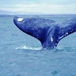 Krillekre ácsingóznak az Antarktisznál gyülekező hosszúszárnyú bálnák