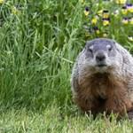 Mormotát evett egy mongol fiú – bubópestises lett