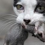 Elvadult macskák irtják az őshonos állatvilágot Ausztráliában