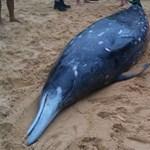 Olajkereső szonár miatt vetődhettek partra a bálnák