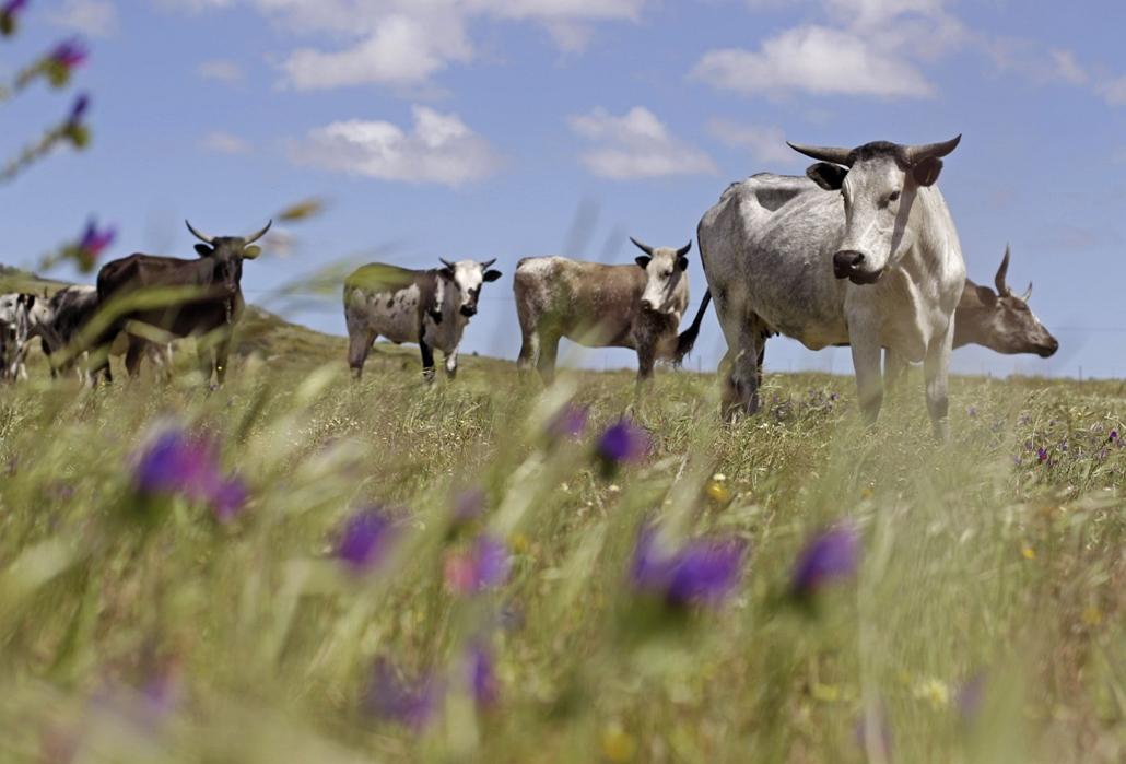 Legelésző tehenek Cape Town mellett. A környék az időjárás függvényében minden évben virágba borul, melyet több ezer turista keres fel. - hét képei nagyítás