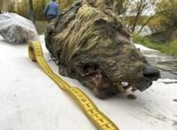 Döbbenetes képek: 40 ezer éves farkasfejre bukkantak Szibériában