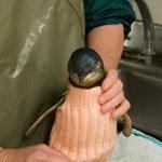 Pingvinruhákat köt Ausztrália legidősebb embere