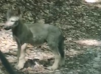 Ne keressék, zavarják a farkasokat – kéri a Bükki Nemzeti Park