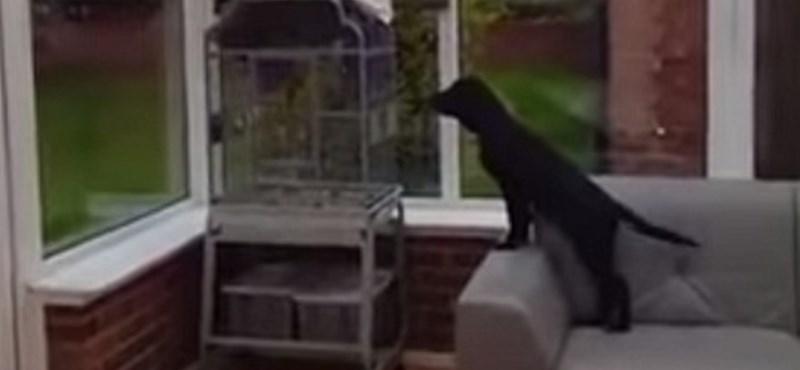 Ugató papagáj idegesít halálra egy labradort – videó
