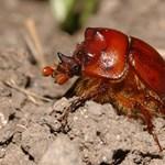 Egész Európában ritka bogarat találtak Magyarországon
