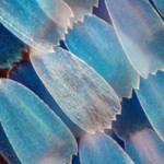 Magyar kutatók olyat találtak a lepkék szárnyán, amit mobiltelefonokba építenének