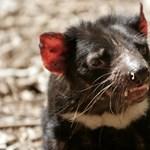 Végveszélyben a tasmán ördög