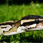 Kígyót használt maszk helyett – a frászt hozta az utasokra ez a brit férfi