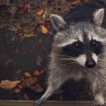 Kattant mosómedvék rémisztgetik az embereket Ohióban
