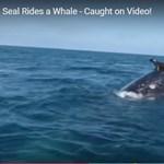 Ritka videó: bálna és fóka így még soha nem működött együtt
