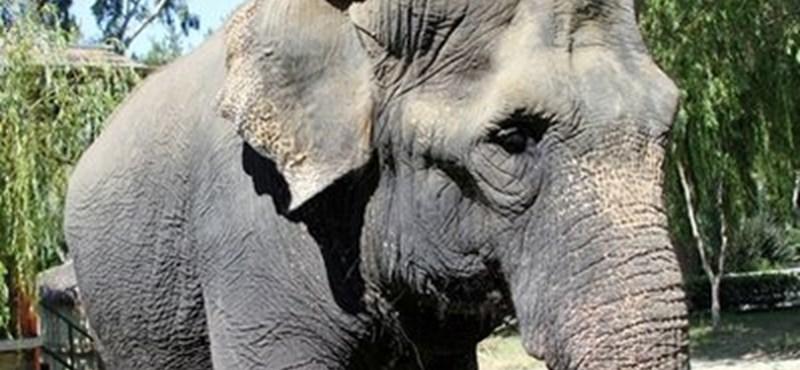 Az idősebb elefántok valóban bölcsebbek
