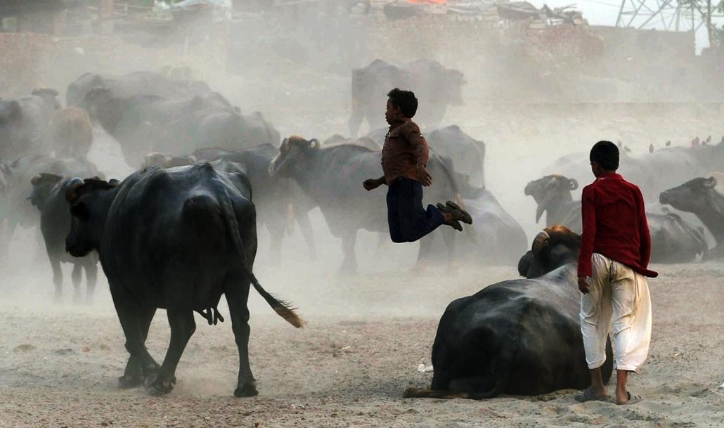 afp. hét képei - Lahore, Pakisztán, 2014.10.13. pakisztán, bivaly, Pakistani residents play among buffalo on the outskirts of Lahore on October 13, 2014. Pakistan has a workforce of around 56 million people among a population of 186 million, according to