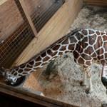 Hetek óta ezt várják milliók, és April, a zsiráf most tényleg szül