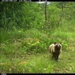 Visszatértek az állatok a Fukusima közeli radioaktív erdőkbe