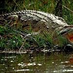 Rémálom a patakparton: arra ébredt, hogy egy krokodil vonszolja ki a sátrából