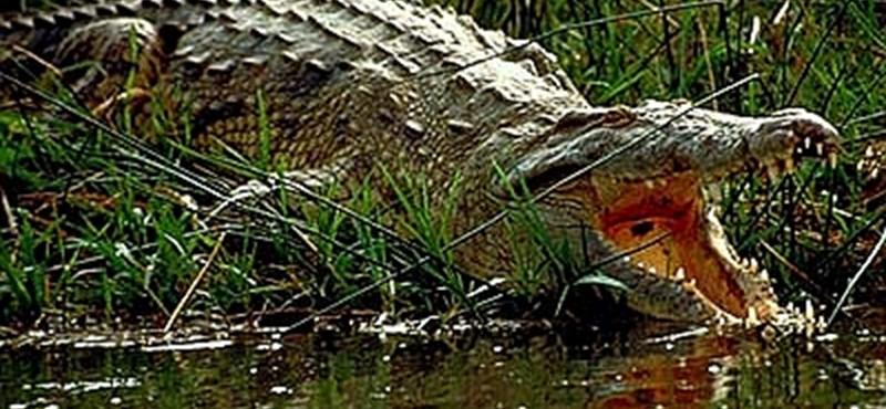 Krokodil hurcolt el egy fürdőző nőt Ausztráliában