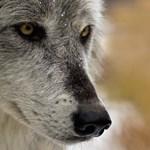 Lelőtte valaki a Yellowstone leghíresebb farkasát
