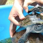 Barbár módszerrel végezhettek Kambodzsa nemzeti állatának egyik példányával