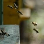 Magyarország nem szavazta meg a méhgyilkos növényvédő szerek betiltását