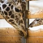 Fájó ezt hallani, de sajnos hivatalos: a kihalás fenyegeti az állatkertek kedvencét
