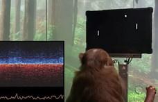Videót mutattak be Elon Muskék majmáról, amelyik gondolatokkal videojátékozik