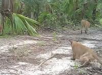 Rejtélyes idegrendszeri betegség miatt támolyognak az állatok Floridában – videó