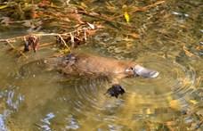 Eltűnt a kacsacsőrű emlősök fele, veszélyeztetetté kell nyilvánítani a fajt