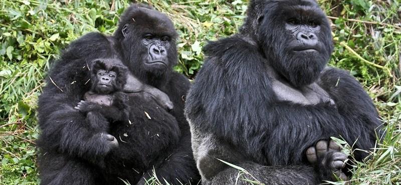 Fotó: hamarosan eltűnhetnek a hegyi gorillák Kongóból