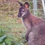 Vádat emeltek a 20 kengurut elütő férfi ellen