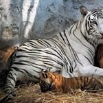 Fotó: fehér tigris szült sárga kölyköket