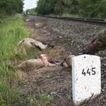 Bíróság elé kerülhet a juhász, akinek elgázolta a vonat a juhait