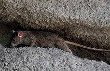 Megkezdődött a fővárosi patkányirtás