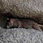 """""""Középkori állapotok"""" – ellenzéki össztűz a budapesti patkányhelyzetre"""