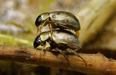 Az elevenen felfalt bogarak képesek kijutni az őket lenyelő békákból