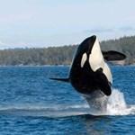 Elpusztult Granny, a világhírű gyilkos bálna, amely több mint 100 évig élt