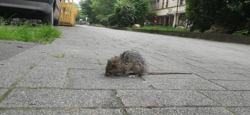 Visszadobta a Kúria a bíróságra a patkányirtási tender ügyét