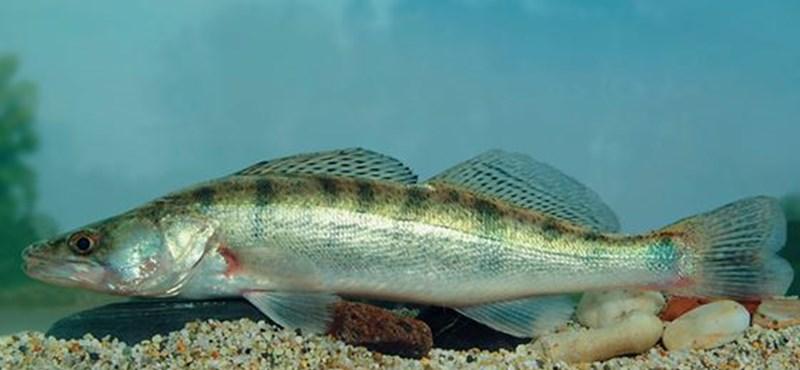 Két nagy ragadozó legyőzheti a veszélyeztetett kis halat