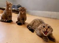 Übercukiság: Állatkerti mentett vadmacskákat engednek vissza a szabadba Balatonfenyvesnél
