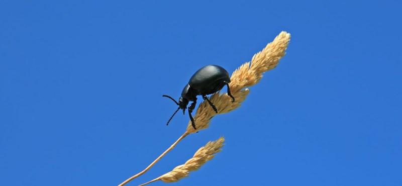 Lopott génekkel váltak a bogarak az állatvilág sztárjaivá