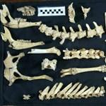 Szokatlanul jó állapotban kerültek elő egy legalább 12 ezer éve élt szarvas maradványai